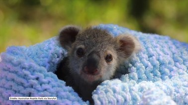 Elsa przedstawiona światu. Mała koala robi furorę w Australii