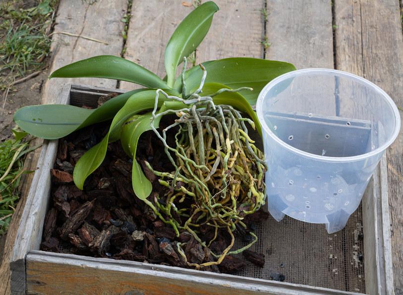 Emulsją z płynem przemyj korzenie, łodygi i liście /123RF/PICSEL