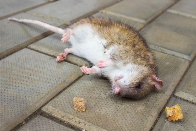 Epidemia dżumy na Madagaskarze? To możliwe /123RF/PICSEL