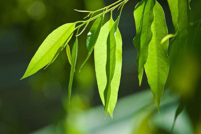 Eukaliptus jest przyjacielem układu oddechowego, pomoże też złagodzić stres. /123RF/PICSEL