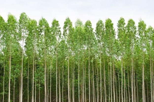 Eukaliptus to prawdziwy drogowskaz do złóż złota? /123RF/PICSEL
