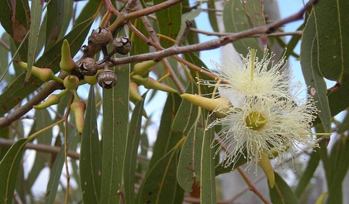 Eukaliptus właściwości /© Photogenica