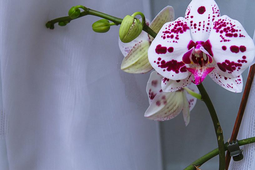 Fanelopsis chętniej ponownie zakwitnie, jeśli na noc będziesz go przenosiła w chłodne miejsce. /123RF/PICSEL