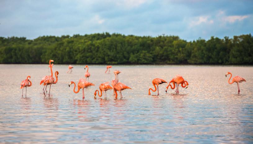 Farma różowych flamingów /123RF/PICSEL