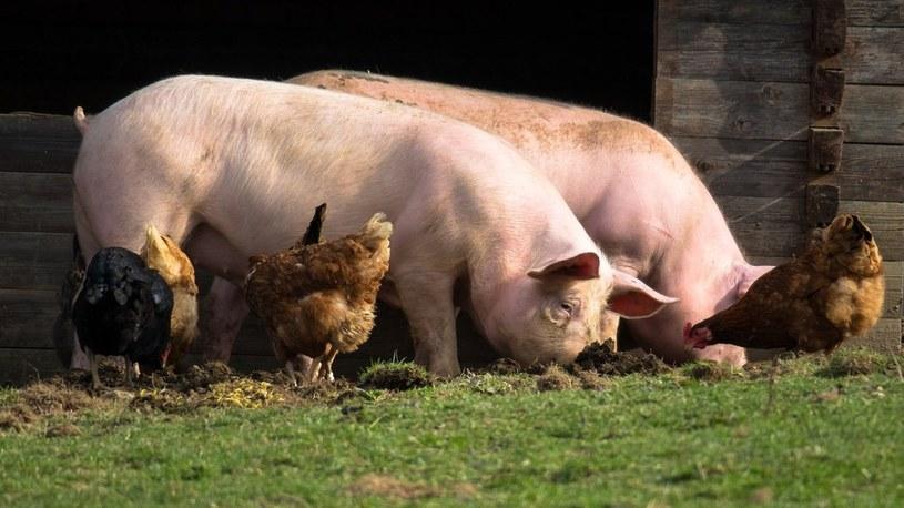 FDA zatwierdza genetycznie modyfikowane świnie do celów medycznych i konsumpcyjnych /Geekweek