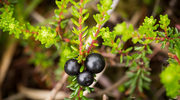 Fińskie owoce leśne naturalną bronią na superbakterie