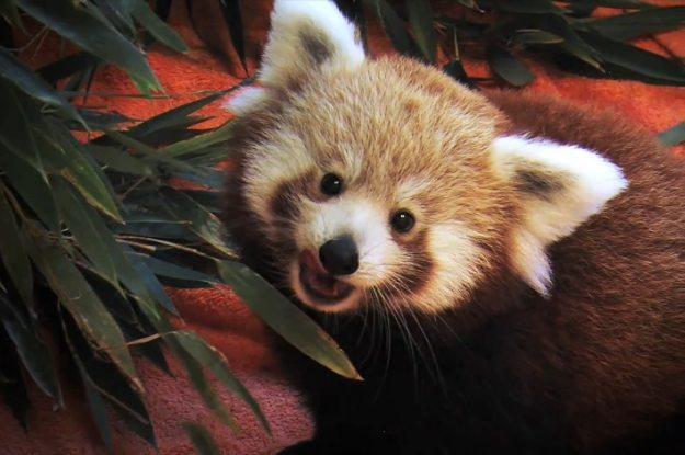 """Firefox zdobywa nowych użytkowników matodą """"na pandę"""" /materiały prasowe"""