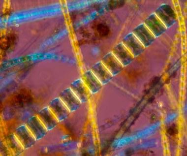Fitoplankton morski: Korzyści i zastosowanie