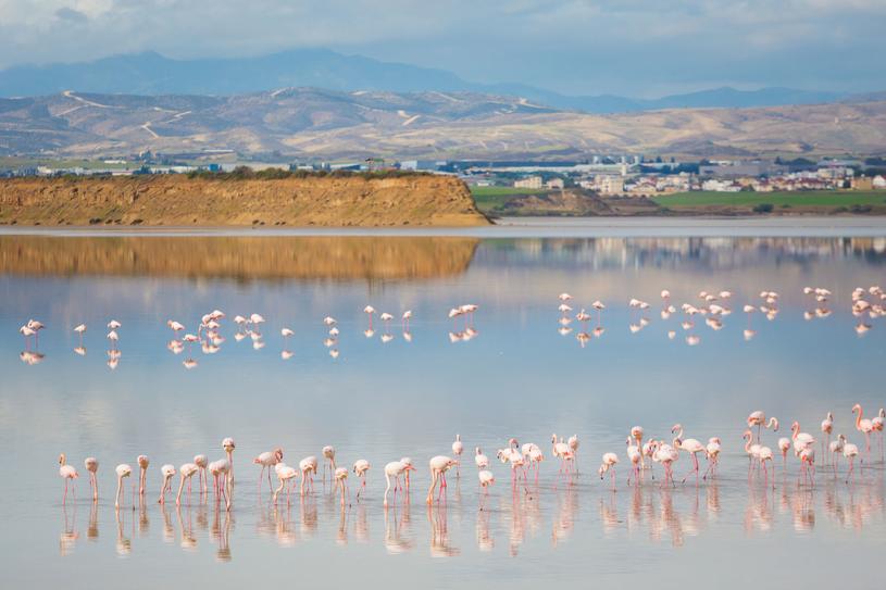Flamingi żerujące na jeziorze w Larnace /123RF/PICSEL