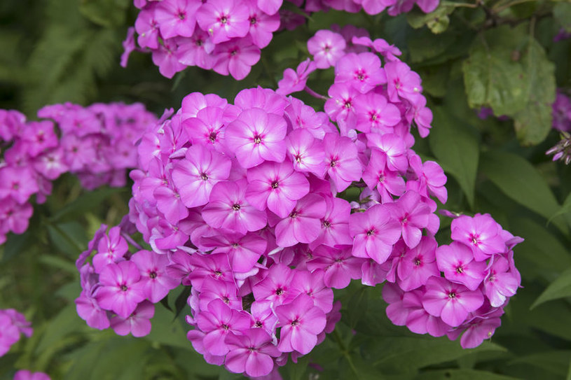 Floks wiechowaty obficie kwitnie i pięknie pachnie /123RF/PICSEL