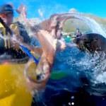 Foka spoliczkowała kajakarza… macką ośmiornicy