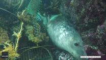 Foka zaplątała się w sieć rybacką. Poruszające nagranie z Anglii