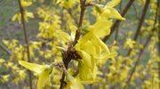 Forsycja - bogactwo wiosny