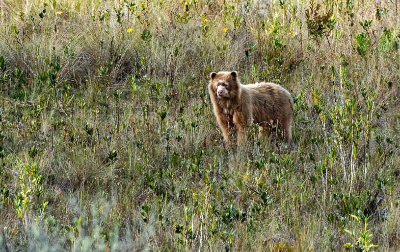 Fotografie zaobserwowanego w Peru niedźwiedzia okularowego /Martin Luther University Halle-Wittenberg /materiały prasowe