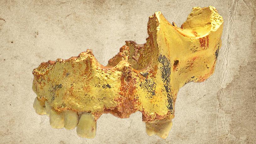 Fragment czaszki należącej do Homo antecessor /materiały prasowe