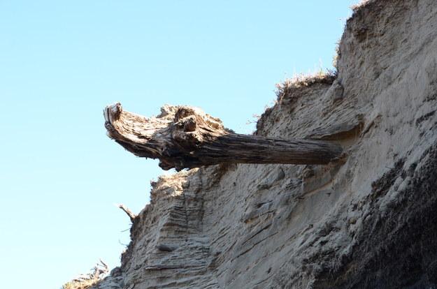 Fragment drewna znalezionego na Syberii /University of Cambridge /Materiały prasowe