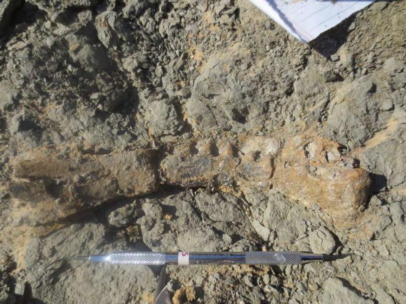 Fragmenty szkieletu Mansourasaurus shahinae /fot. Uniwersytet Mansoura /materiały prasowe