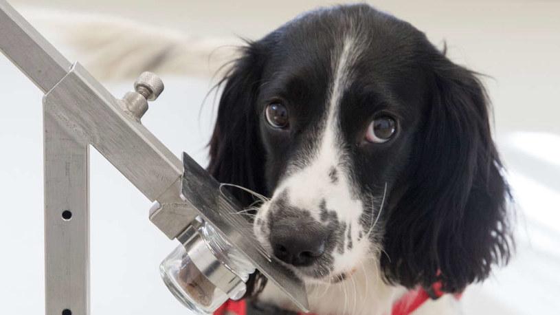 Freya - jeden z angielskich spanielów wytrenowanych do wyczuwania malarii /Fot. Medical Detection Dogs /materiały prasowe