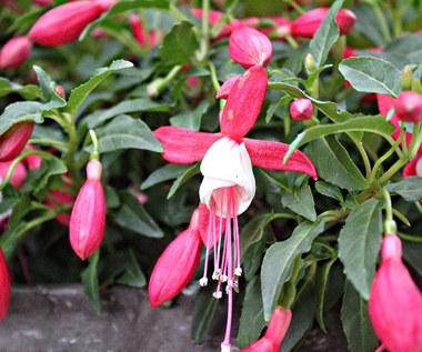 Fuksja: Jak pielęgnować, by obrodziła pięknymi kwiatami?