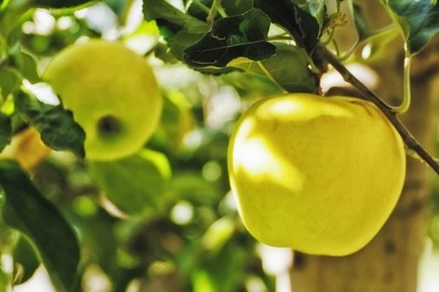 Fundacja AgriNatura zamierza odnowić w Polsce sady rdzenie polskich odmian jabłek /123RF/PICSEL