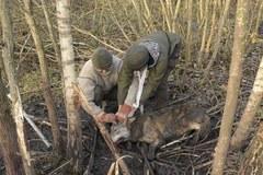 Funkcjonariusze z Placówki Straży Granicznej w Węgorzewie uratowali wilka