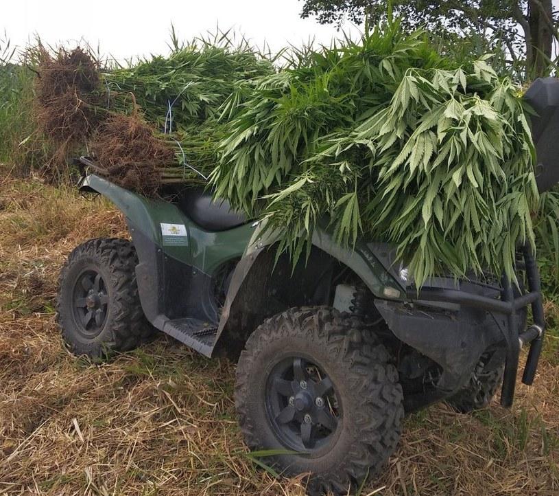 Funkcjonariusze zabezpieczyli 131 krzewów konopi indyjskich (Źródło: KP Nowa Dębna) /Policja