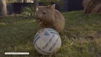 Futbolowa gorączka ogarnęła nawet... tego wombata. Nie rozstaje się z piłką