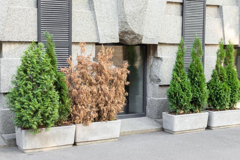 Fytoftoroza najczęściej atakuje iglaki, ale zagraża także roślinom liściastym /123RF/PICSEL