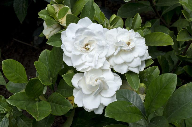 Gardenia - jedna z roślin, które poprawiają nastrój /©123RF/PICSEL