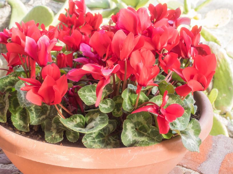 Gdy inne rośliny zapadają w jesienno-zimowy sen, fiołek zaczyna pięknie rozkwitać /123RF/PICSEL