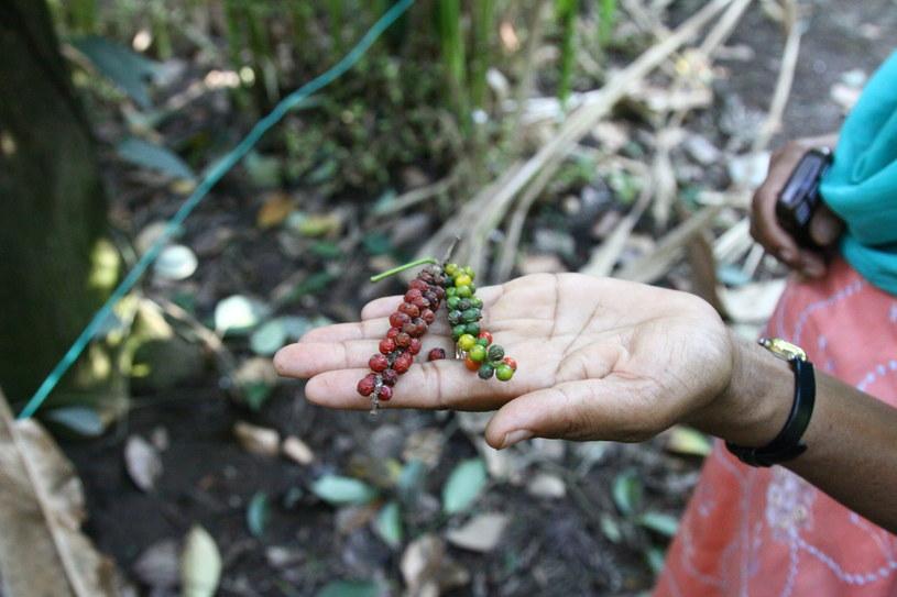 Gdy pieprzowe grono dojrzewa, zielone ziarenka zmieniają kolor na czerwony. fot. Anna Janowska /Wydawnictwo Muza