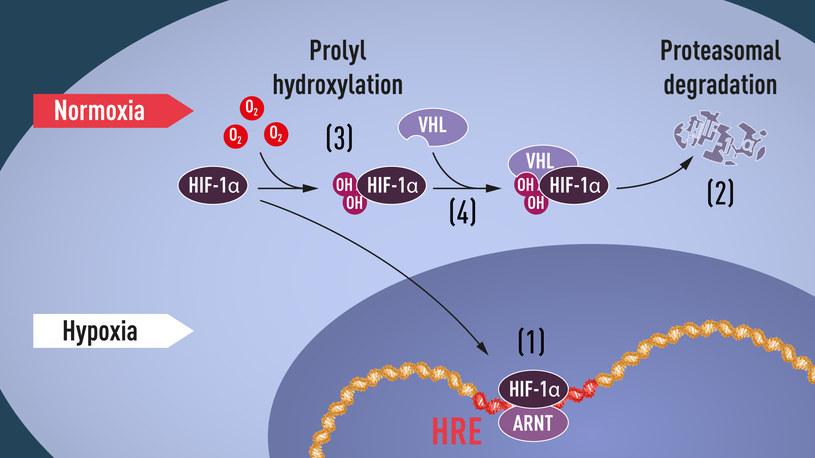Gdy poziom tlenu jest niski, HIF-1α jest chroniony przed degradajcą i gromadzi się w jądrze komórkowym, gdzie wiąże się z ARNT i specyficznymi sekwencjami DNA w genach regulowanych przez hipoksję (1). Przy normalnym poziomie tlenu HIF-1α jest szybko degradowany przez proteasom (2). Tlen reguluje proces degradacji poprzez dodanie grup hydroksylowych do HIF-1α (3). Białko VHL może rozpoznać i utworzyć kompleks z HIF-1α, co prowadzi do jego degradacji w sposób zależny od tlenu (4).