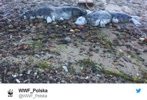 Gdynia: Dwie martwe foki z pętlą wokół szyi