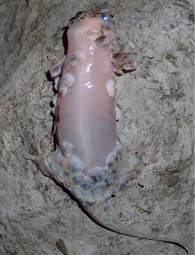 Geckolepis megalepis odarty ze skóry /materiały prasowe
