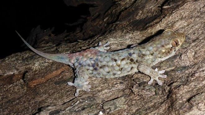 Geckolepis megalepis /materiały prasowe