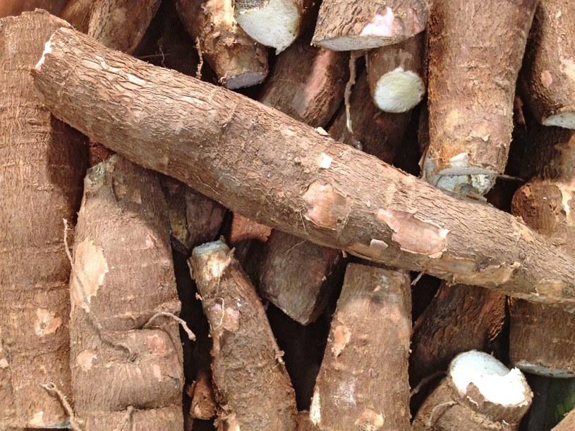 Genetycznie modyfikowany maniok zawiera więcej cynku i żelaza od naturalnie występujących roślin /123RF/PICSEL