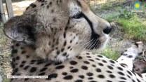 Gepard mruczy niczym domowy kot, widząc swojego opiekuna