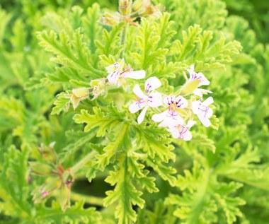 Geranium (anginka): Wzmacnia odporność, obniża ciśnienie i odstrasza komary