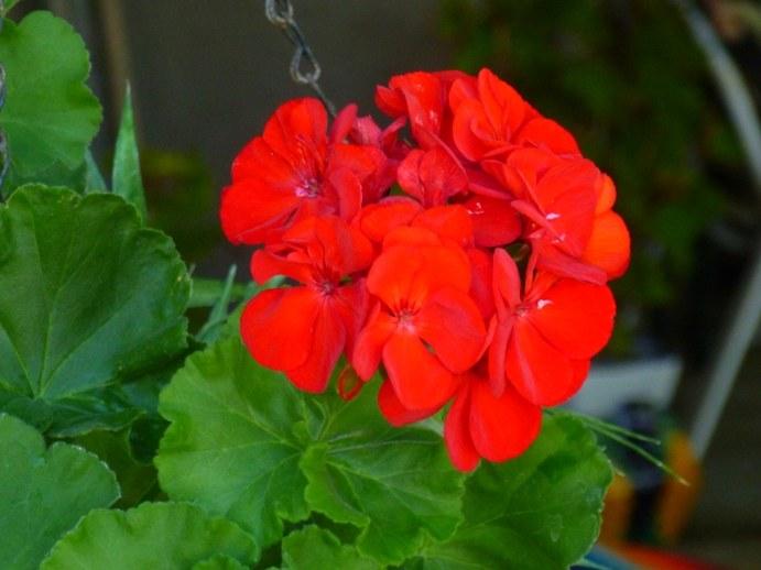 geranium na przeziębienie /© Photogenica