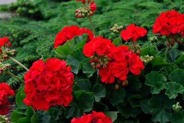 geranium właściwości /© Photogenica