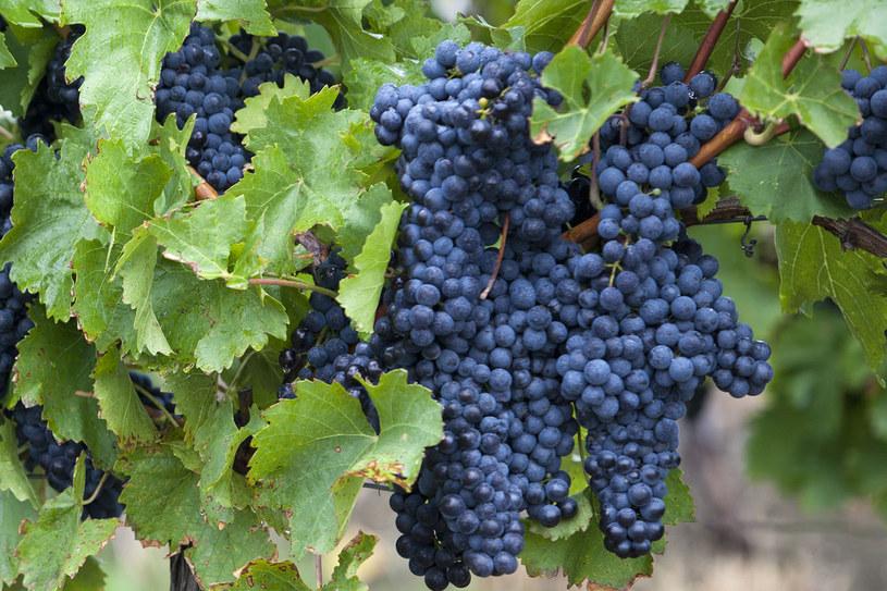 Gęste nasadzenia sprawdzają się w nadmiernie nasłonecznionych winnicach /123RF/PICSEL