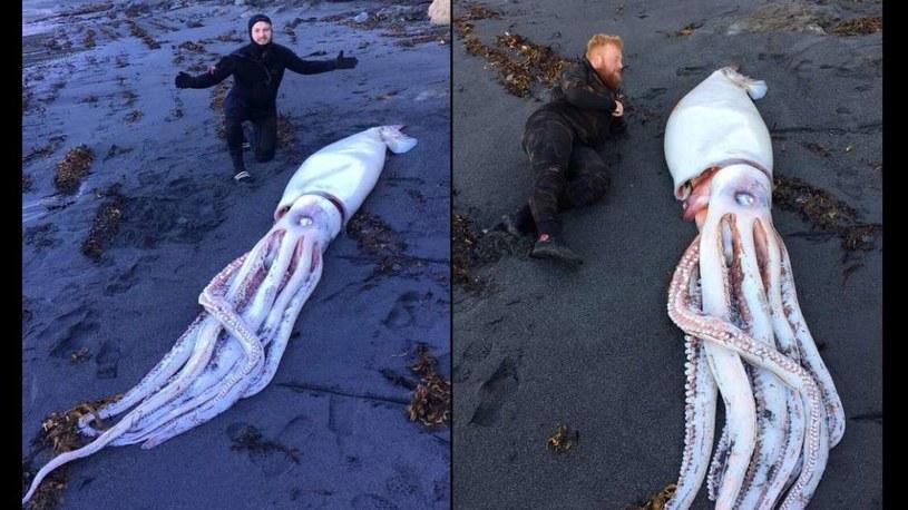 Gigantyczna kałamarnica odnaleziona na brzegu Nowej Zelandii /Fot. Daniel Aplin /materiały prasowe