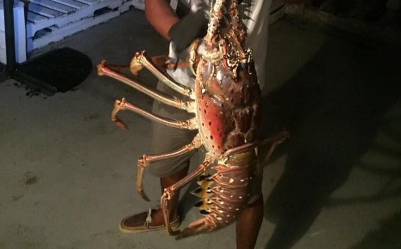 Gigantyczna langusta złowiona na Bermudach /materiały prasowe