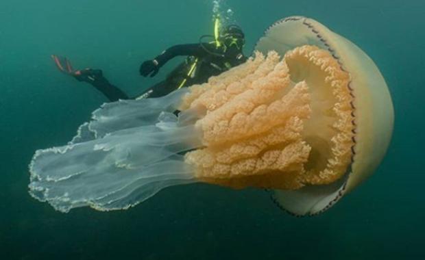 Gigantyczna meduza u wybrzeża Anglii. Jest wielkości człowieka