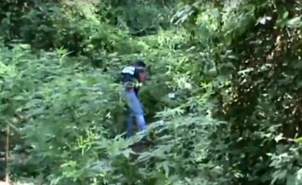 Gigantyczna plantacja marihuany nadzorowana przez drony