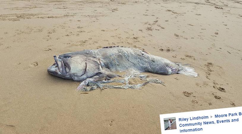Gigantyczna ryba znaleziona w Australii /Facebook /