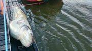 Gigantyczna ryba znaleziona w Wiśle