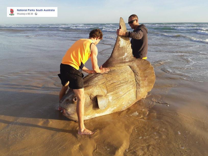 """Gigantyczna """"złota rybka"""" w Australii /facebook.com"""