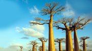 Gigantyczne afrykańskie baobaby nagle zaczęły umierać po tysiącach lat