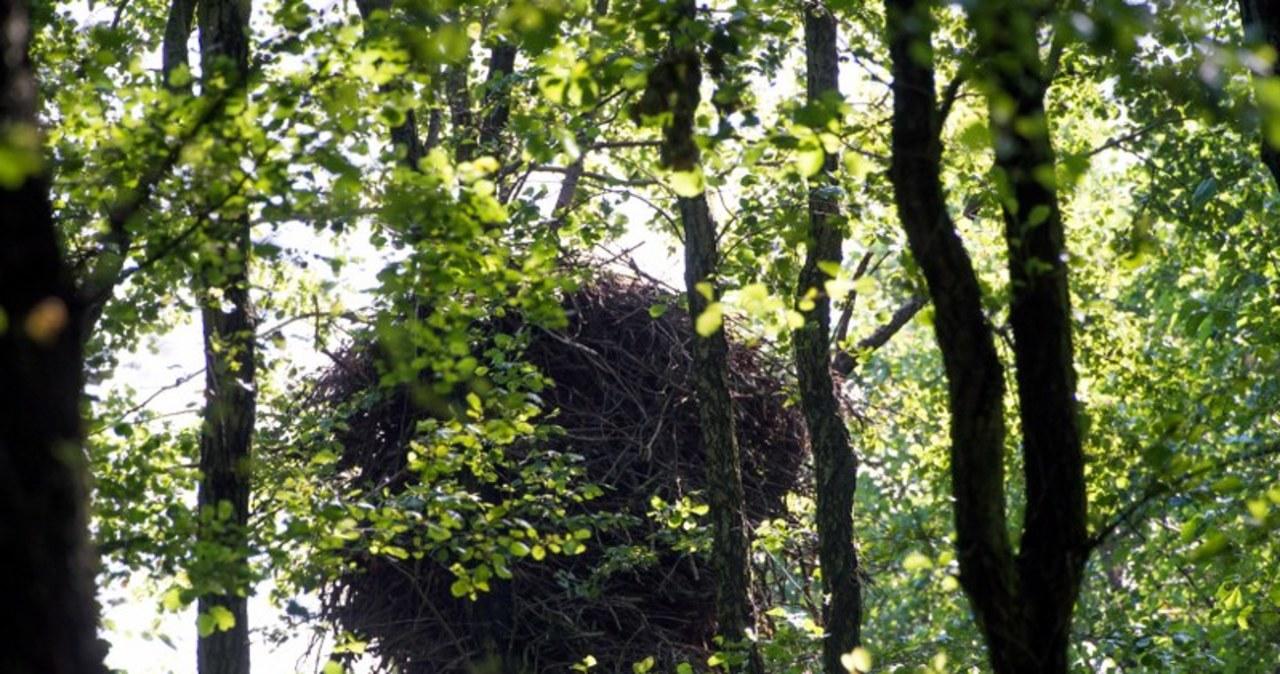 Gigantyczne gniazdo bielików w Poddębicach